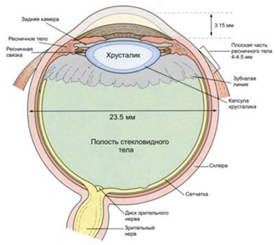 Вид глазного яблока в разрезе